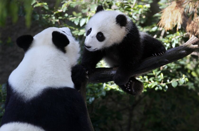 U-T File: San Diego Zoo's baby panda Xiao Liwu, at seven months old. In the San Diego Ad Club's inaugural Brand Diego Awards, the Zoo won the Brand of the Year award.