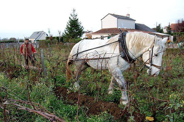 Plowing the vineyard