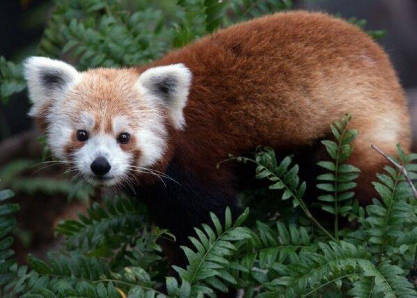 Rusty the red panda