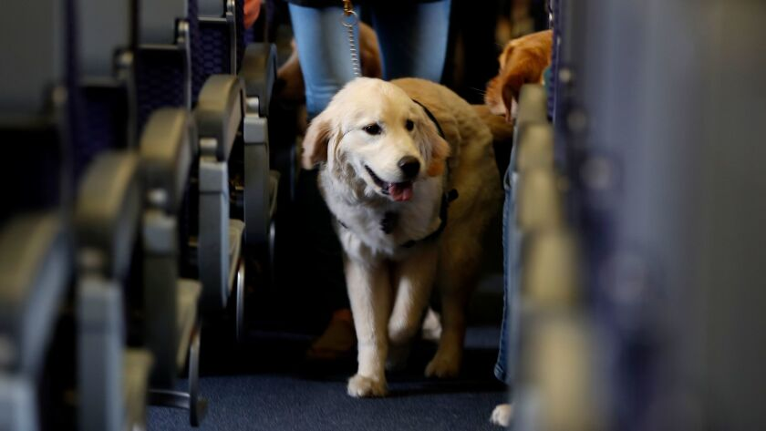 A dog strolls through the aisle of a plane.