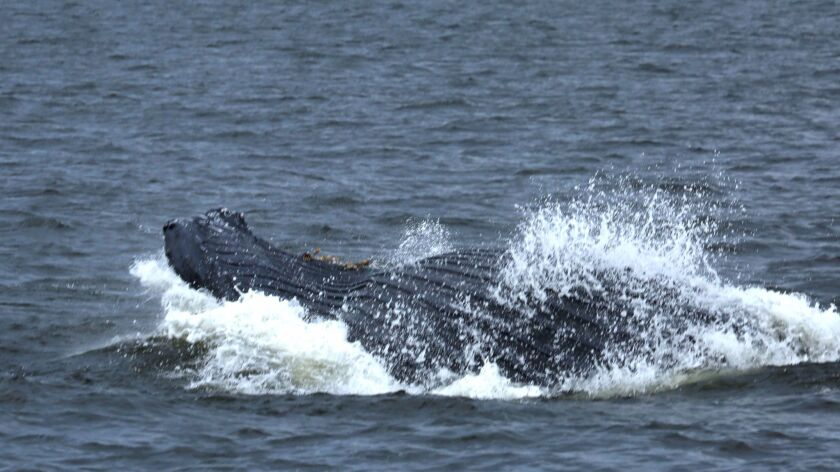 A humpback whale feeds near the Verrazano-Narrows Bridge. Scientists aren't entirely sure why sea li