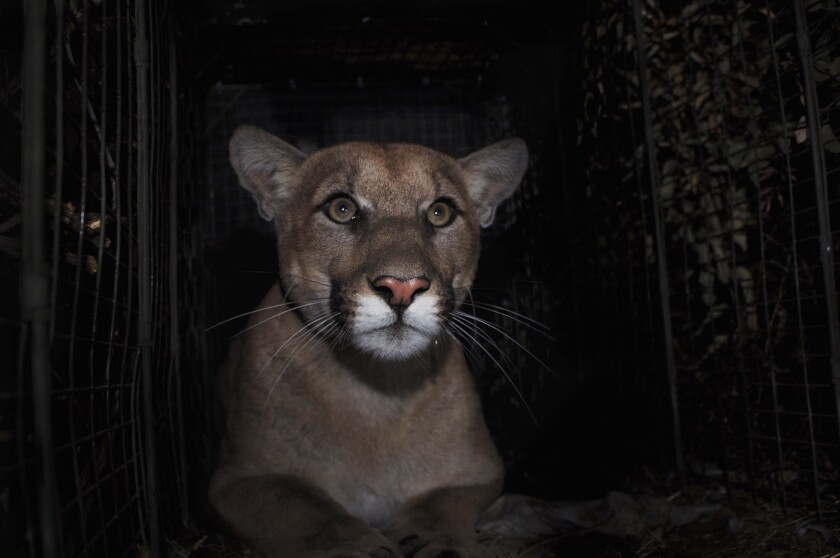 The mountain lion, P-61, which had successfully crossed the 405 Freeway a couple of months ago was killed on that freeway in early September.