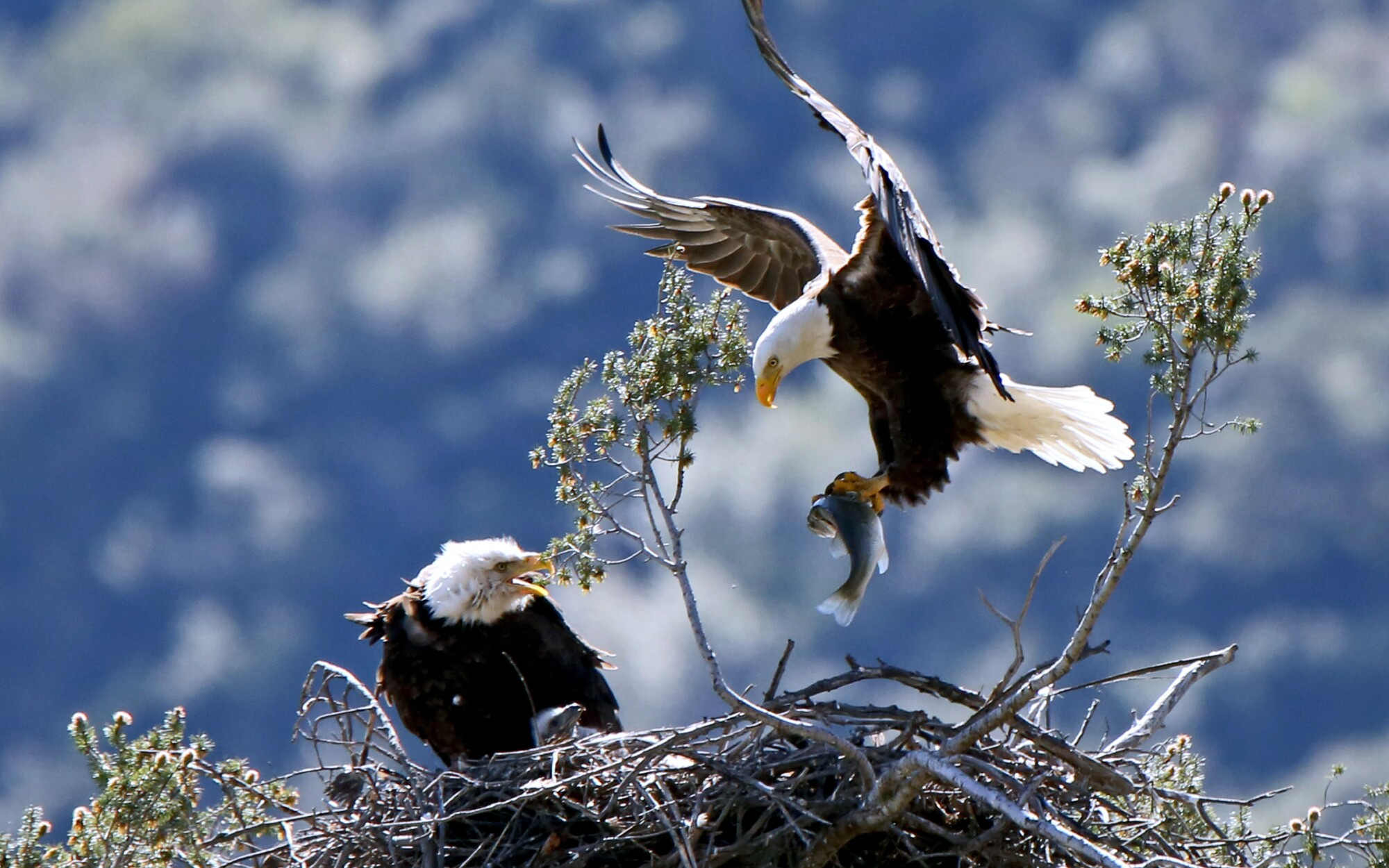 Bald eagles have found themselves a new home: Suburbia - Los Angeles Times
