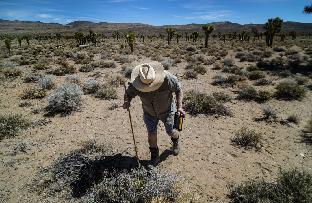 A man pokes a plant in a desert with a stick.