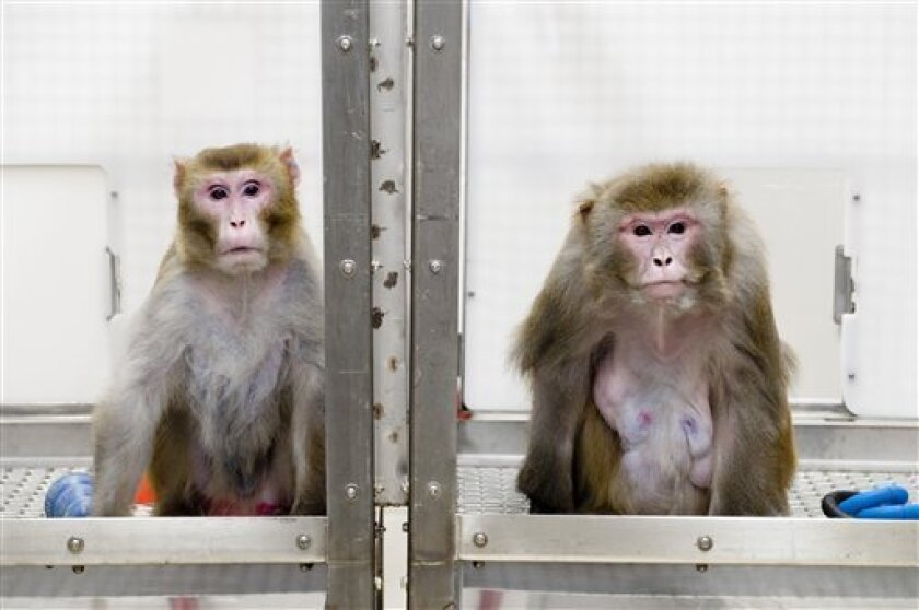 This May 28, 2009, photo provided by the University of Wisconsin at Madison via the journal Science shows Rhesus monkeys Canto, 27, left, who is on a restricted diet, and Owen, 29, right, who is on an unrestricted diet, at the Wisconsin National Primate Research Center at the University of Wisconsin-Madison. (AP Photo/UW-Madison University, Jeff Miller)