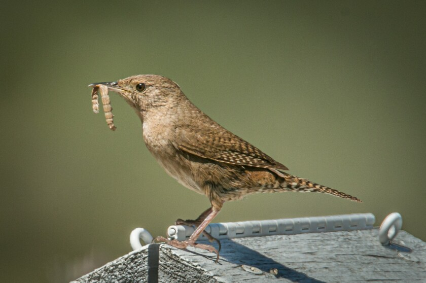 An adult house wren bringing food to the chicks.