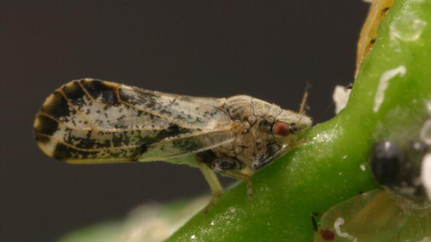 The Asian citrus psyllid (Diaphorina citri), a tiny sap-sucking insect that transmits Huanglongbing