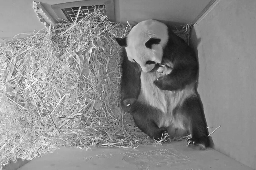 A panda and her newborn cub
