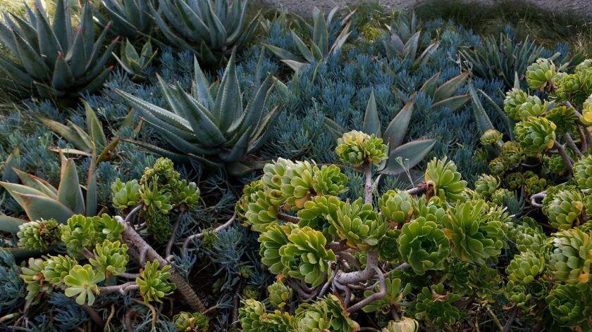 SANTA MONICA, CA. - OCTOBER 15, 2015: Native and drought tolerant plants grow in Tongva Park designe