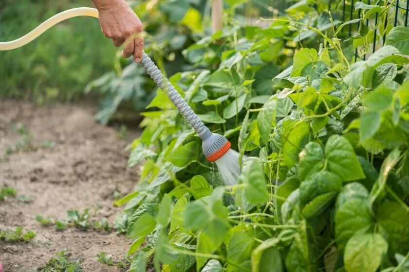 Women hand irrigation Organic Green Bean plant in garden