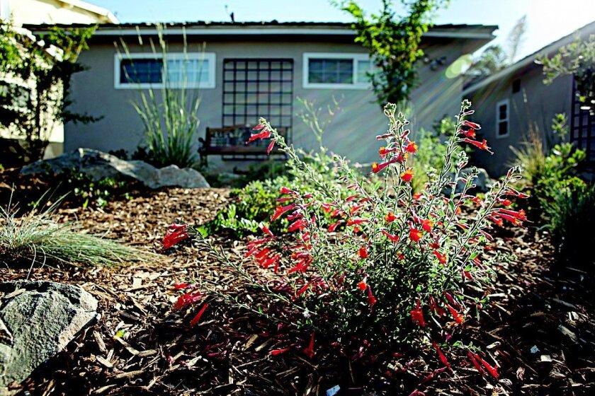 Bird Rock resident Steven Roeder's garden is ocean friendly. Photo: Will Parson