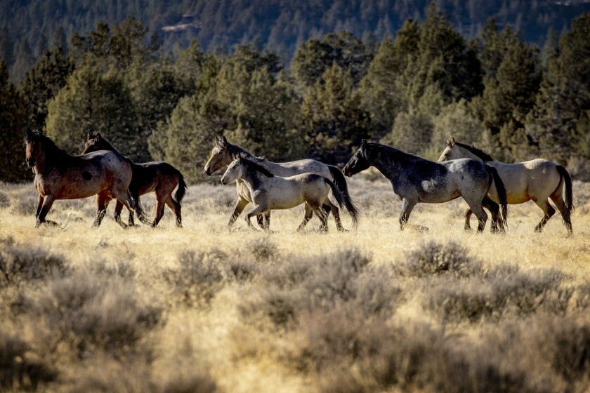 Wild horses roam in Modoc National Forest near the city of Alturas in Northern California. The plan to reduce the horse population has been controversial.