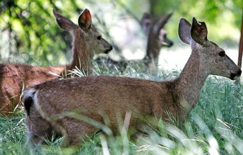 A coalition of environmental groups and developer Tejon Ranch Co. have agreed on a landmark plan to conserve 90% of the largest chunk of privately owned wilderness remaining in Southern California. Here, deer graze in spring grasses on a portion of the 270,000-acre ranch.