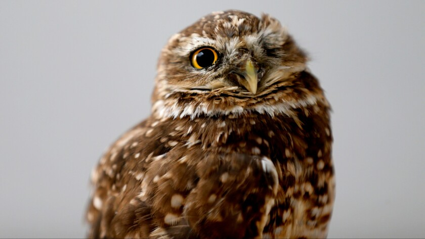 Spartacus, the Western burrowing owl