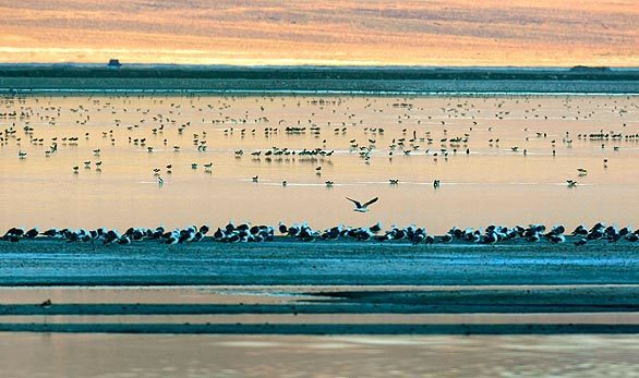 Shorebirds gather on ponds at Owens Lake the evening before the lake-wide bird census.