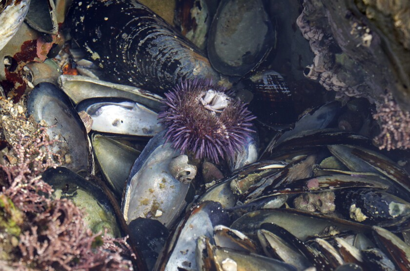 A sea urchin grows in a tide pool at White Point Beach in San Pedro.