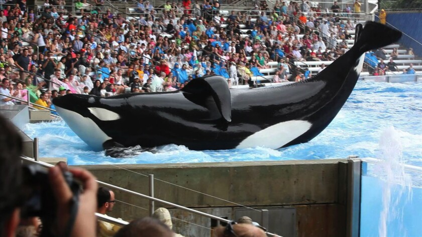 """A whale performs at SeaWorld in a scene from """"Blackfish."""""""