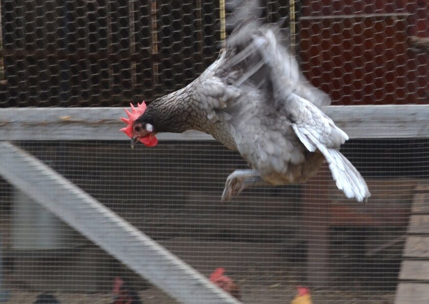 A chicken flaps its wings at a residential farm in Encinitas. Some say the city needs to relax its livestock and commercial farming restrictions to encourage farmers.
