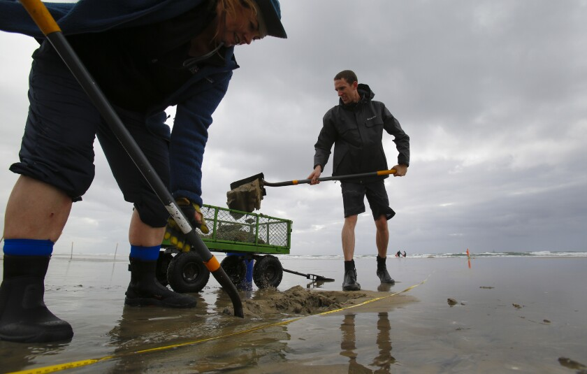 Sean Bignami, right, associate professor of biology at Concordia University Irvine and volunteer Michelle Sayre shovel sand into a wagon at Silver Strand on Feb. 9, 2020. The wagon is modified with a 1/4 screen to allow for sand and smaller shells to fall through leaving behind larger clams and, hopefully, Pismo clams.