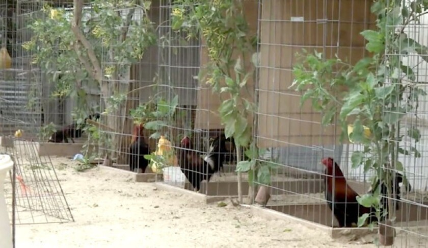 Some of the thousands of roosters captured at a remote compound in Val Verde in 2017.
