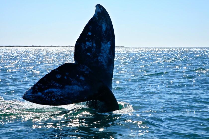 Gray whale fluke at San Ignacio Lagoon, Baja California Sur, Mexico.