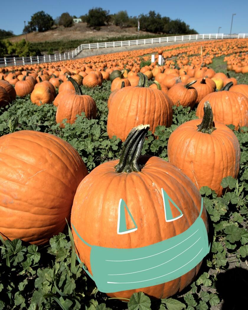Pumpkin patch with pumpkin wearing a face mask.