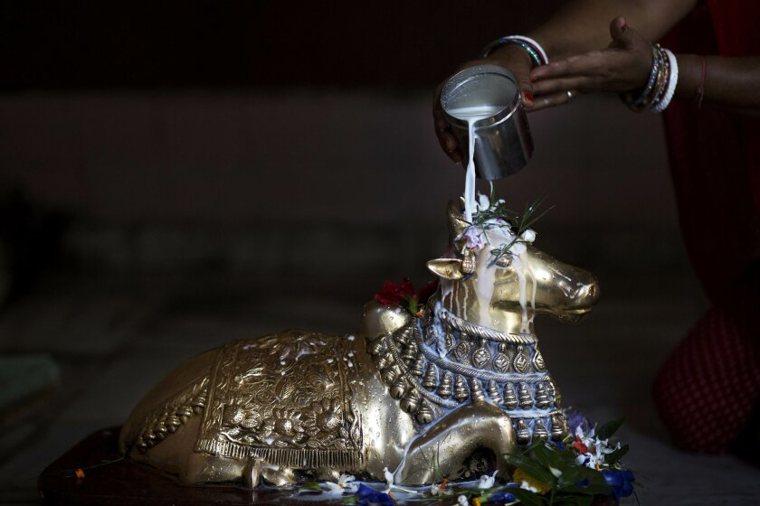 In this Thursday, Oct. 15, 2015 photo, a Hindu devotee pours milk on to an idol of Nandi, the bull that serves as a mount of Hindu God Shiva, at a Shiva temple in Gauhati, India. Hindus use milk and its products for religious purposes because it is believed to have purifying qualities: ghee, or clarified butter, is used in lamps for rituals; milk is used to bathe Hindu idols on special occasions; sweets made from milk or ghee are used as offerings to gods. (AP Photo/Anupam Nath)