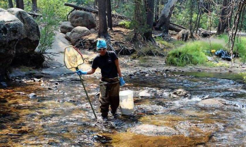 Rachel Van Horne, a biologist with the U.S. Forest Service, lugs a bucket of nonnative trout killed through intentional poisoning along an 11-mile stretch of Silver King Creek in the High Sierra. The poisoning with the natural toxin rotenone aims to restore the creek for the native Paiute cutthroat trout, which had been squeezed out by invasive nonnative species.