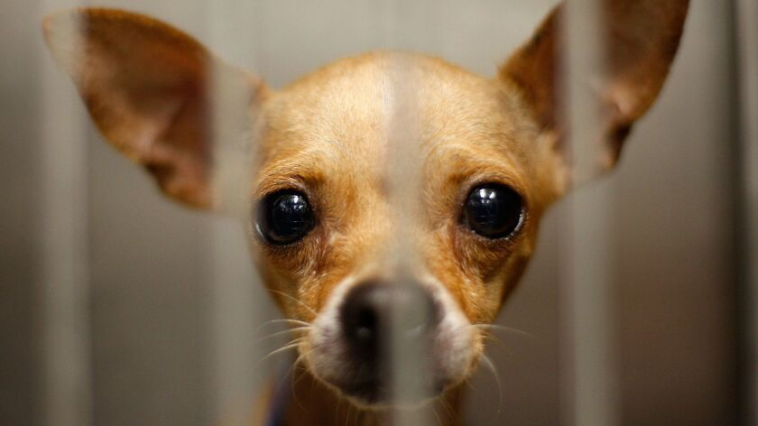 A dog at a Los Angeles Department of Animal Services shelter.