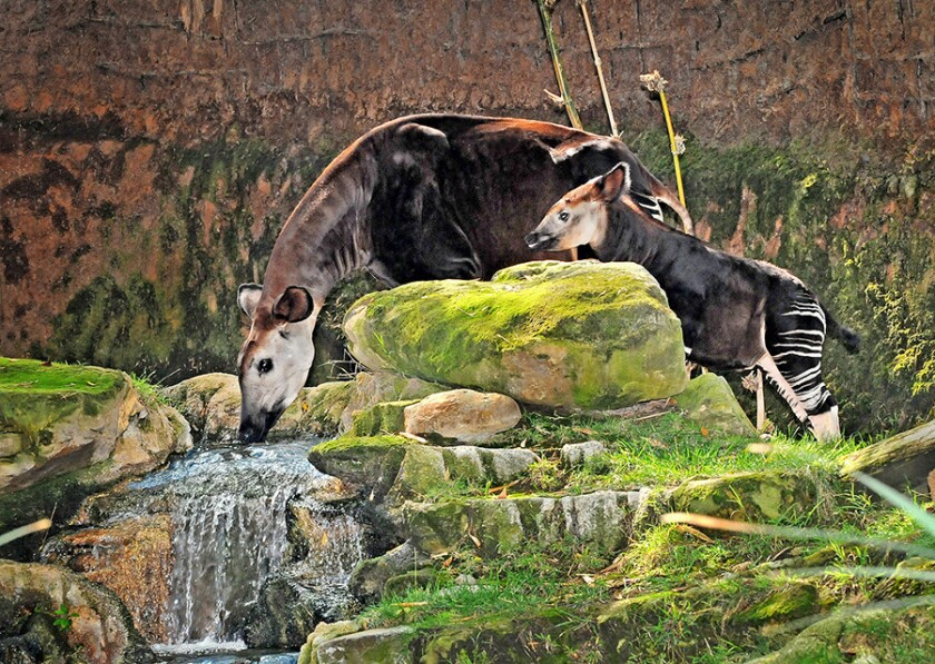 An okapi and her calf at the Los Angeles Zoo.