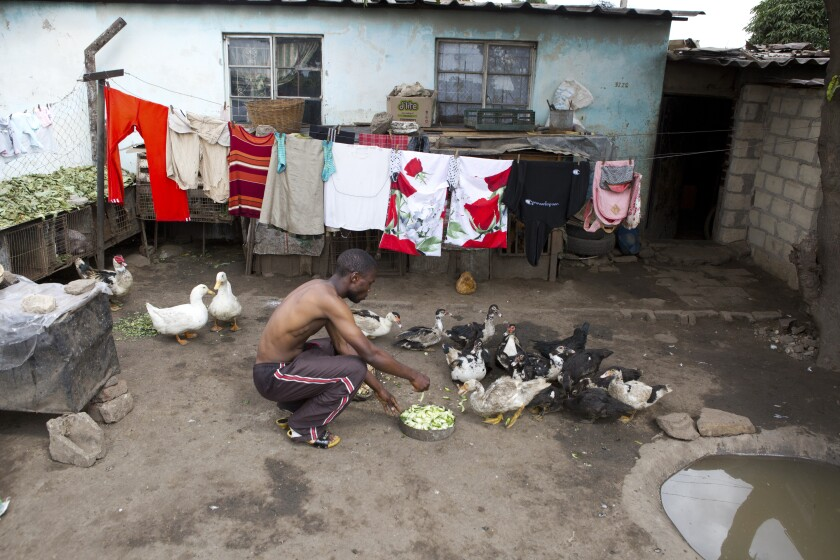 A man feeds his ducks outside his house in Harare, Zimbabwe. The country went into a lockdown Monday for 21 days in an effort to curb the spread of the coronoavirus.