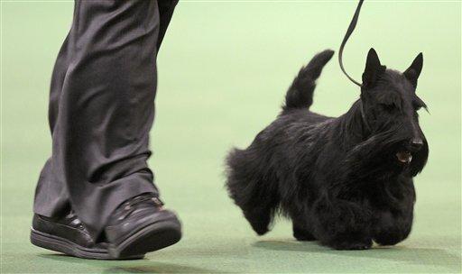 Westminster Dog Show 2010