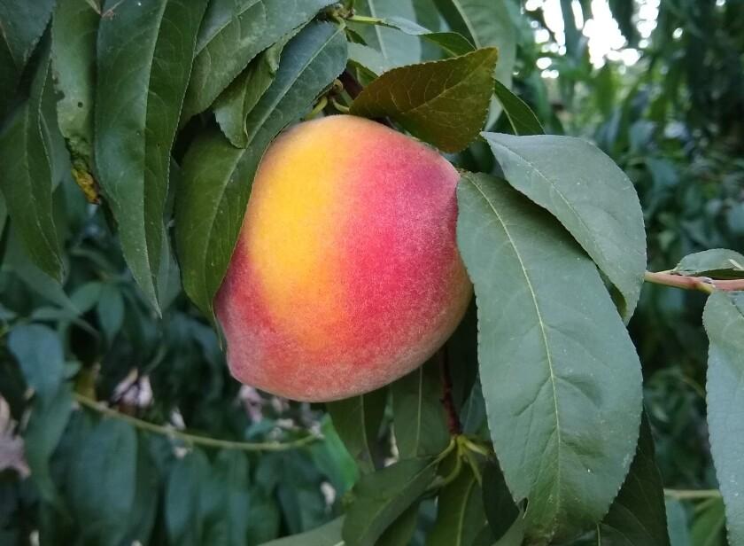 Red Baron peach.jpg