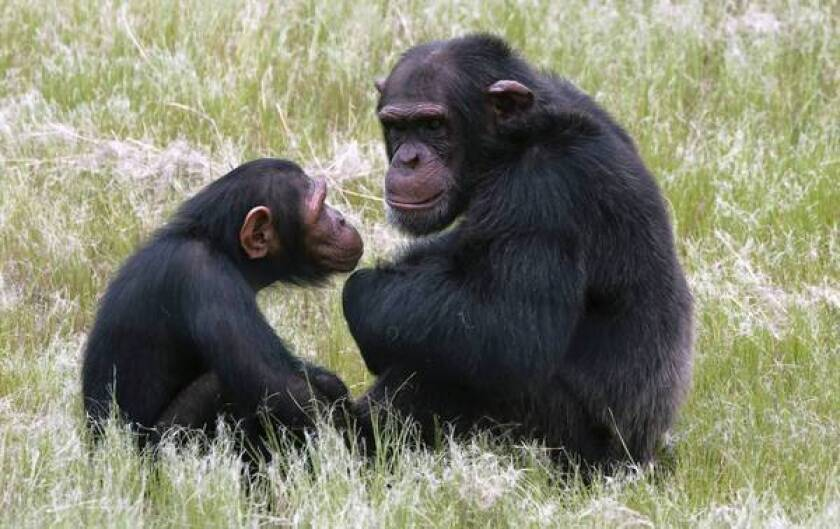 Great apes have midlife crises too, study finds