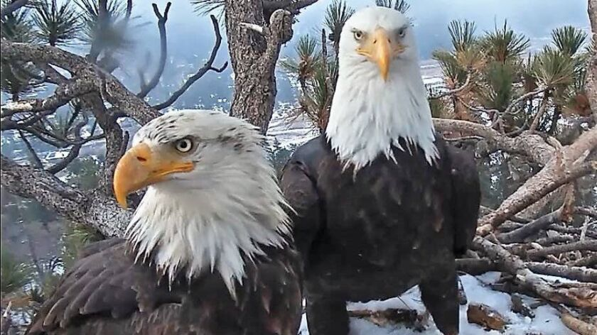 A pair of bald eagles in a nest at Big Bear Lake.