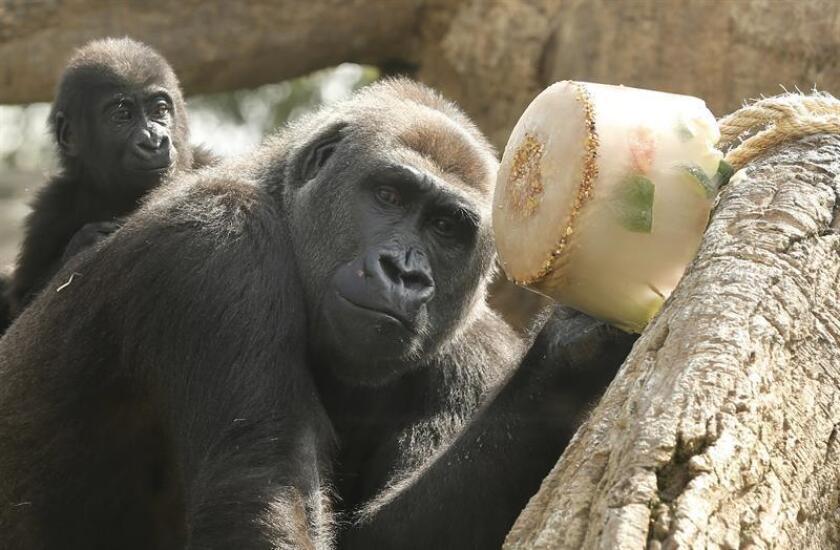 Los chimpancés alertan a sus amigos de peligros como serpientes