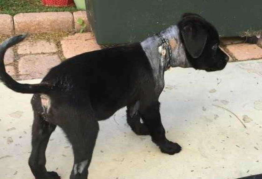Bindy, a roughly 3-month-old puppy, was found injured last week, with a tight rubber band stretched around her neck and digging into her skin. The Labrador retriever mix, who is healing, will be available for adoption starting Wednesday at Rancho Coastal Humane Society in Encinitas.