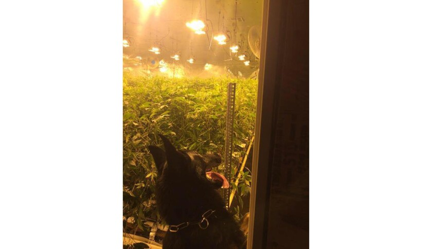 A police dog sniffed out a third illegal marijuana grow at the same industrial complex in Placentia.