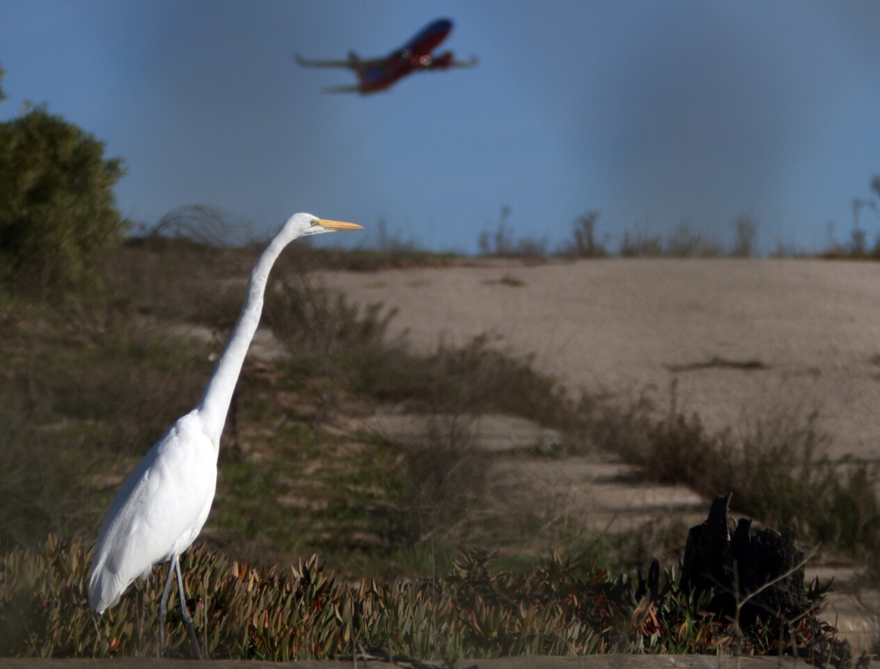 """A heron hunts for a meal next to an abandoned road inside the """"ghost town"""" south of LAX that was once was the Surfridge community."""