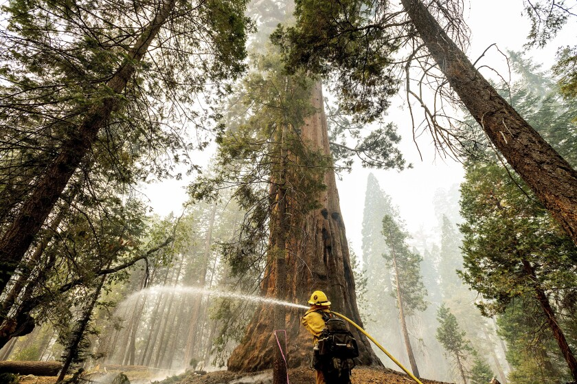 A firefighter hoses down hot spots around a sequoia tree.