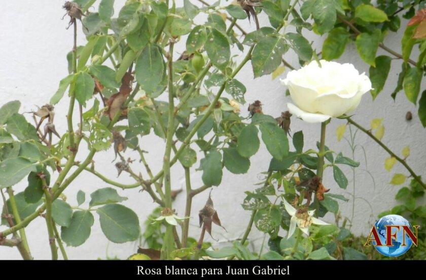 Rosa blanca para Juan Gabriel