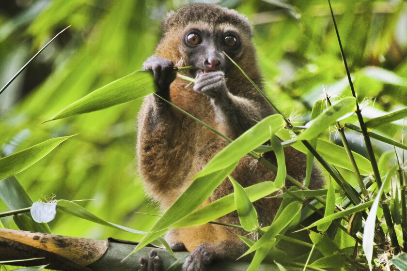 "This 2019 photo provided by Noel Rowe and Centre ValBio shows a golden bamboo lemur in Madagascar. Conservation isn't work that can simply be dropped for a while, then picked up again, ""because it depends so much on relationships with people and local communities,"" said Patricia Wright, a biologist at Stony Brook University who has spent three decades building a program to protect Madagascar's lemurs, big-eyed primates that live only on the island. (Noel Rowe/Centre ValBio via AP)"