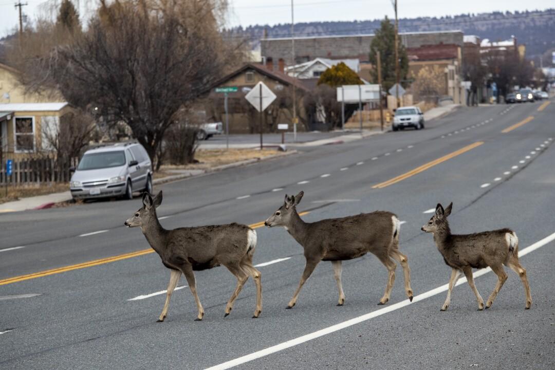 Deer cross Main Street in Alturas.