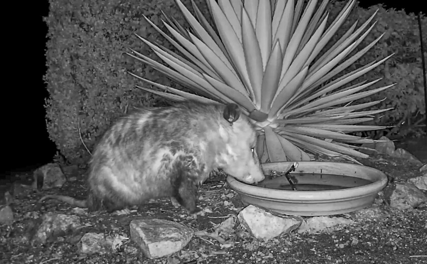 """Recent nighttime visitors drinking from """"The Possum Pond"""" at Mt. Whoville include this opossum."""