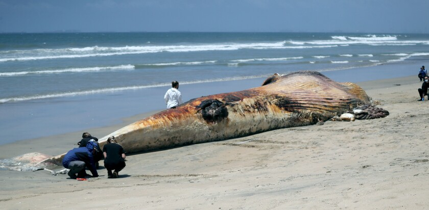 Scientists from the Pacific Marine Mammal Center in Laguna Beach study an endangered fin whale that washed up on a beach