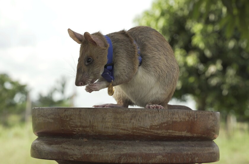 """In this undated photo issued by the PDSA, People's Dispensary for Sick Animals, Cambodian landmine detection rat, Magawa is photographed wearing his PDSA Gold Medal, the animal equivalent of the George Cross, in Siem, Cambodia. A British animal charity has on Friday, Sept. 25, 2020, for the first time awarded its top civilian honor to a rat, recognizing the rodent for his """"lifesaving bravery and devotion"""" in searching out unexploded landmines in Cambodia. (PDSA via AP)"""