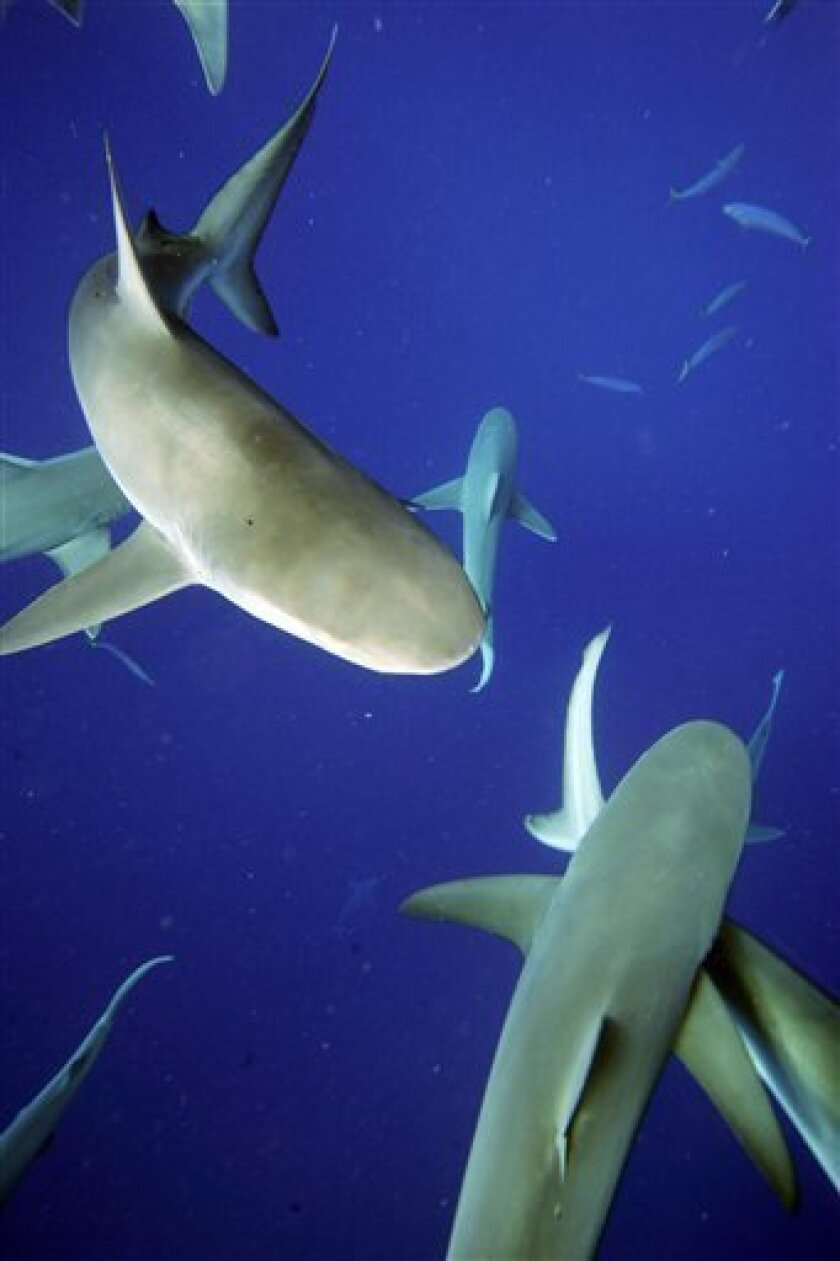 In this photo taken on May 8, 2006, sharks are seen swimming around during a shark seeing tour three miles from Haleiwa, Hawaii town on the North Shore of Oahu.  (AP Photo/Hugh E. Gentry)