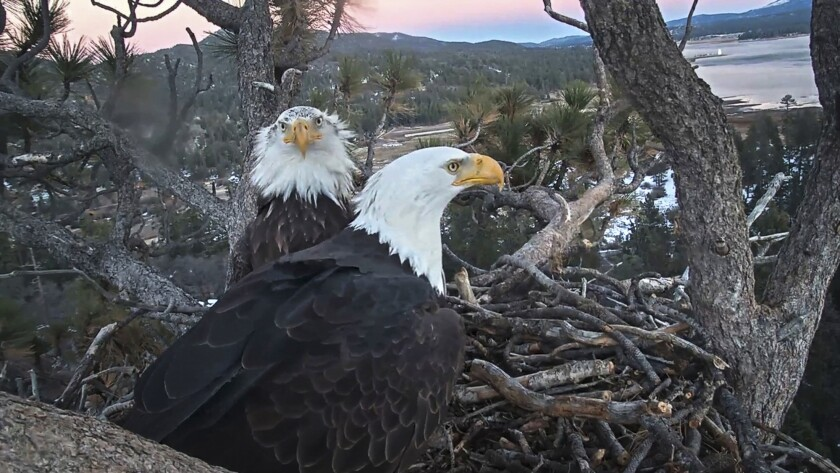A remote camera image shows a pair of bald eagles nesting on Big Bear Lake's northern shore.