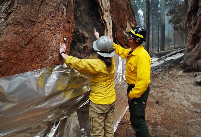 National Park Service employees look at a burn mark on the trunk of a wrapped sequoia