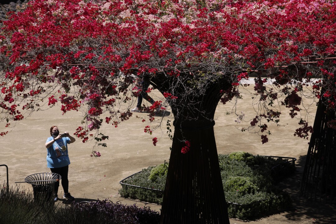 Jennifer Conway takes a picture in The Getty Gardens.